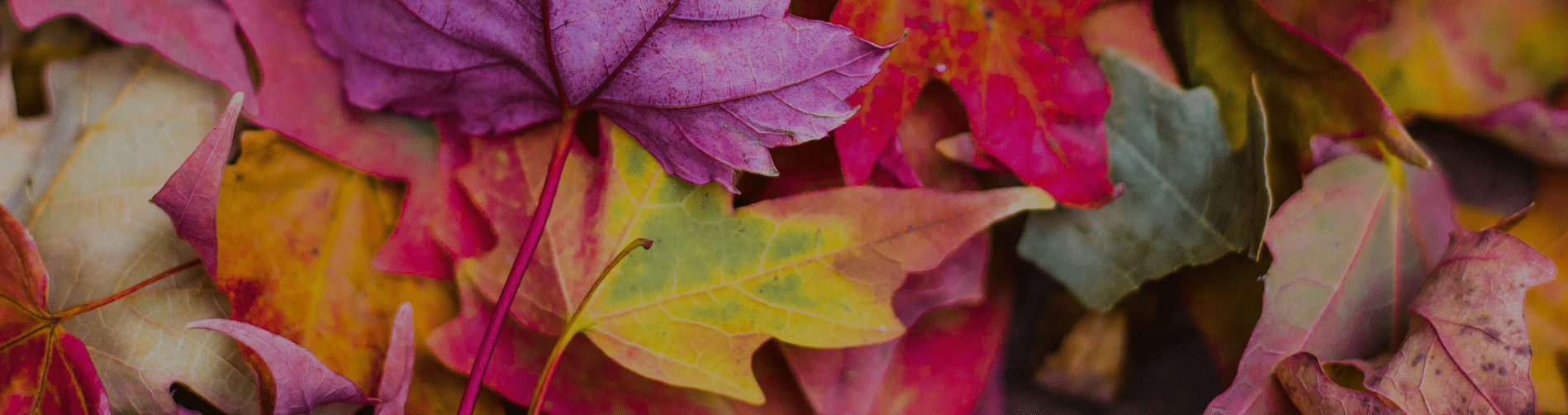 Autumn Leaves in Purple, Yellow & Pink